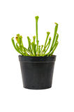 Sarracenia in a black pot Royalty Free Stock Photo