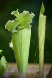 Sarracenia. Exotic plant Stock Images