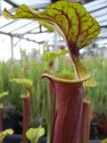 Sarracenia Flava Burgandy Photo stock
