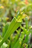Sarracenia flava Stock Photos
