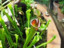 Sarracenia leucophylla Pitcher Plant Royalty Free Stock Images