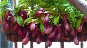 Sarracenia miotacza roślina Zdjęcie Royalty Free