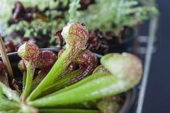 Sarracenia Psittacina zdjęcie royalty free