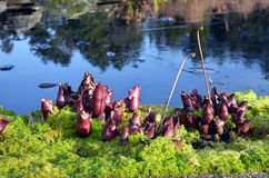Sarracenia purpurea. Carnivorous plants, Sarracenia purpurea, among moss on a pond in the garden in winter Stock Photography