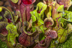 Sarracenia purpurea Stock Images