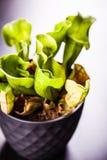 Sarracenia purpurea detail Stock Images