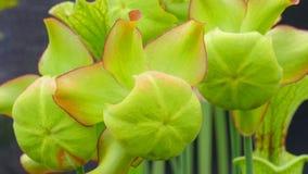 Sarracenia - usines carnivores Son régime est des insectes et tout autre s Images stock