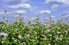 Sarrasin fleurissant sur un fond des nuages image libre de droits