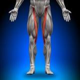 Sartorius - Anatomy Muscles Stock Photography