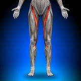 Sartorius - Female Anatomy Muscles. Sartorius - Female Human Anatomy Muscles royalty free illustration