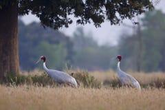 sarus夫妇抬头在草的身分在蓝毗尼,德赖,尼泊尔 库存图片