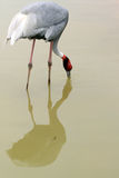 Sarus Crane Stock Photography
