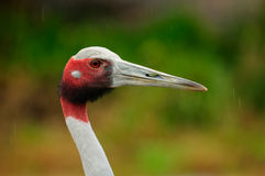 Sarus Crane Stock Photos