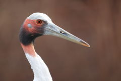 Sarus crane. The detail of upper body of sarus crane Royalty Free Stock Photos