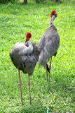 Sarus Crane Royalty Free Stock Images