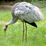 Sarus crane 3 Royalty Free Stock Image
