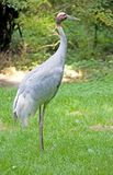 Sarus crane 4 Royalty Free Stock Photography