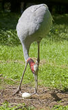 Sarus crane 6 Royalty Free Stock Photo