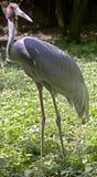 Sarus crane 7 Stock Image