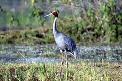 Sarus crane Royalty Free Stock Image