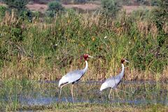 Sarus crane Royalty Free Stock Photography