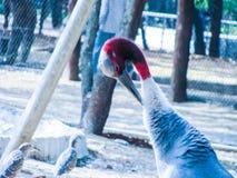 Sarus crane Stock Image
