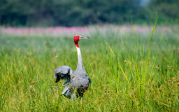 Sarus Crane with beautiful pose Stock Photo