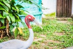 Sarus crane Stock Images