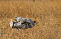 Sarus Crane Bird photo libre de droits
