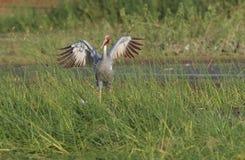 Sarus crane bird Stock Photo