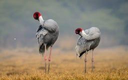Sarus Crane couple : Preening Royalty Free Stock Photo