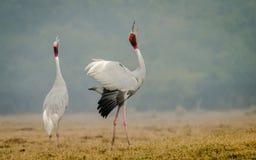Sarus Crane courtship. Sarus Crane (Grus Antigone) pair courtship and in beautiful pose at Bharatpur, India royalty free stock images