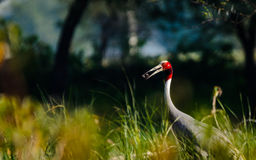 Sarus Crane : Feeding Stock Photo