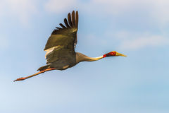 Sarus Crane flyin Royalty Free Stock Photography