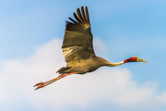 Sarus Crane flying Stock Images
