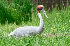 Sarus crane Stock Photography