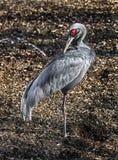 Sarus crane 14 stock images