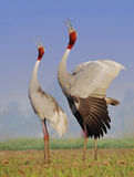 Sarus Crane (Grus Antigone) Stock Photography
