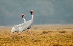 Sarus Crane (Grus Antigone) couple Stock Images