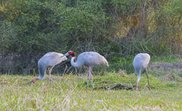 Sarus Crane (Grus Antigone) Stock Photo