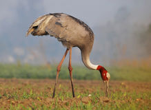 Sarus Crane (Grus Antigone) Royalty Free Stock Images