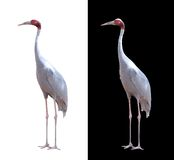 Sarus crane isolated on white with clipping path royalty free stock photography