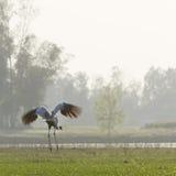 Sarus crane landing on a lake at Bardia, Terai, Nepal Royalty Free Stock Images
