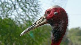 Sarus crane Stock Photos