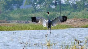 Sarus crane. The sarus crane is a large non-migratory crane found in parts of the Indian Subcontinent, Southeast Asia and Australia. The tallest of the flying Royalty Free Stock Photo