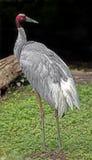 Sarus crane 12 Royalty Free Stock Photos