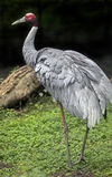 Sarus crane 13 Stock Images