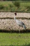 Sarus Crane longest flying birds royalty free stock photography