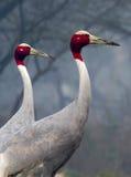 Sarus Crane Pair Stock Image