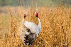 Courting Sarus Cranes Stock Images